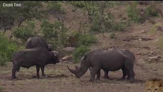 Download НОСОРОГ В ДЕЛЕ! Носорог против слона, львов, буйвола Video