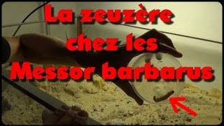 Download Blog Messor barbarus # 21 - Festin de zeuzère ? Video