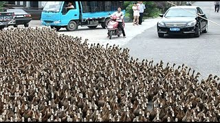 Download DUCK ARMY Videos Compilation || NEW Video