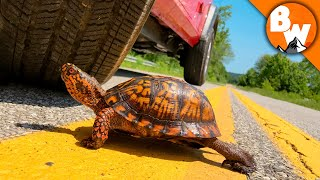 Download Click to Rescue this Turtle from Traffic! Video