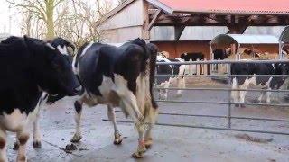 Download Ankunft einer 16 Jahre alten Kuh im Kuhaltersheim Video