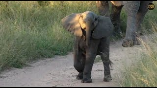 Download Safari Live : Cute little Elephant yesterday morning with James April 27, 2018 Video