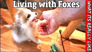 Download What its really like to live with foxes -The good, the bad & the truth about having a pet fox Video