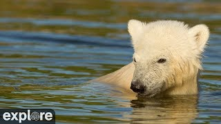 Download Siku & his Polar Bear Family powered by Explore.org Video