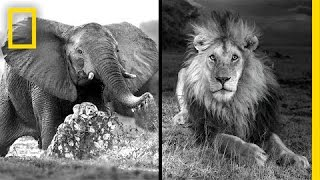 Download Michael Nichols: Photographing Africa's Wildest Beasts | Nat Geo Live Video