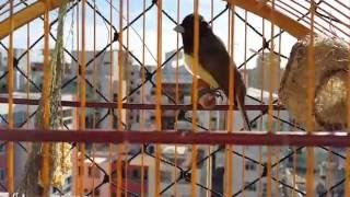 Download Coleiro Macaco Laranjeira - Tui Tui (Ziggy Marley ) Video