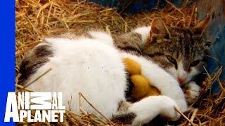 Download A Momma Cat and Her Yellow, Feathered Kittens Video
