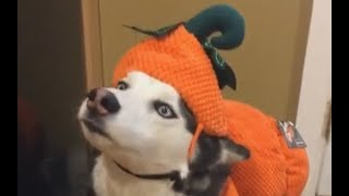 Download Pumpkin Puppy Video