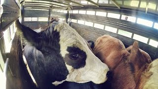 Download Selling Steers at the Sales Barn Video