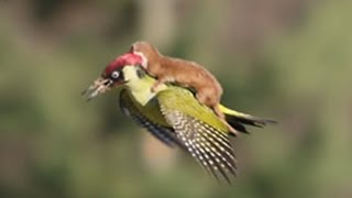 Download WEASEL RIDES WOODPECKER Video