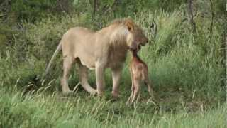 Download Lion playing with his prey Video