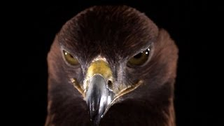 Download Golden Eagle in slow motion | Slo Mo #9 | Earth Unplugged Video