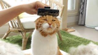 Download 고양이 털과의 전쟁! 털이 가장 많이 나오는 고양이는 누구? Video