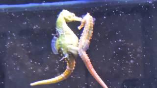 Download Seahorses Mating, Transferring Eggs Video