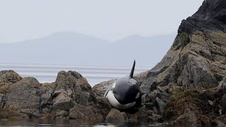 Download After This Orca Got Stranded, She Lay Crying For Hours But How Rescuers Responded Incredible Video