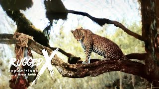 Download Leopard Hunting at Mt. Galai Tanzania Video