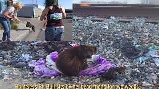 Download Homeless Pit Bull sits by her dead friend for two weeks... Video