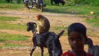 Download Monkey riding a Goat - Funny animal videos Video