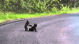 Download Yosemite Bears ORIGINAL Video