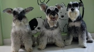 Download How to keep your mini schnauzer's beard unstained Video
