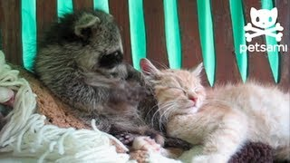 Download Raccoon thinks a kitten is his teddy bear Video