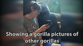 Download He showed a gorilla photos of other gorillas on his phone. Watch the gorilla's reaction! ORIGINAL Video