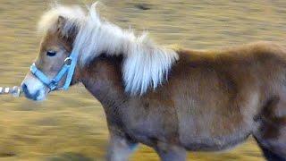 Download Маленькие Пони. Кони Пони. Самая маленькая лошадь. Футажи для видеомонтажа Video