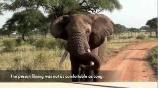Download Close encounter with a huge elephant male Video