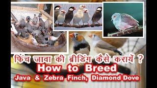 Download Zebra Finch, Java Sparrow & Diamond Dove Breeding Tips Overview | Zebra & Java Finch breeding colony Video