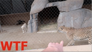 Download DOG & CHEETAH LOCKED IN THE SAME CAGE! WTF Video
