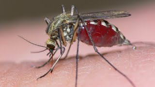 Download Coming Soon: Genetically Modified Mosquitoes! Video
