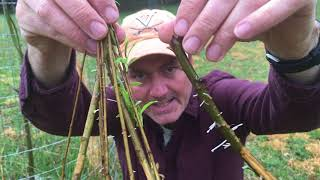Download How To Grow A Weeping Willow Tree From Cuttings Video