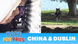 Download Abandoned dogs waited for someone to call Hope For Paws! Video