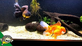 Download Why do people LOVE Goldfish? Video