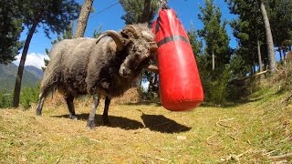 Download Angry Ram destroys a punching bag.. Video