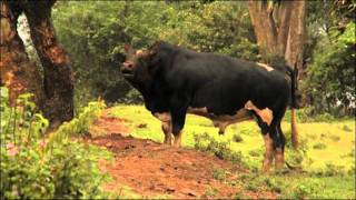 Download Improving African Livestock with Reproductive Technologies and Genomics Video