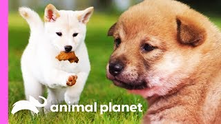 Download Mischievous Shiba Inu Pup Gets Her Sisters In On The Fun! | Too Cute! Video