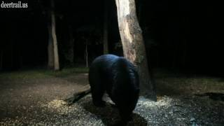 Download Another Bear Visit 6-22-17 Video