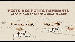 Download Global Programme for the Control & Eradication of Peste des petits ruminants Video