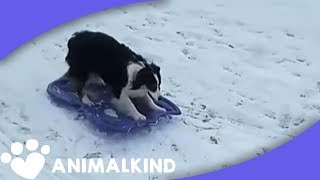 Download Genius dog takes herself sledding in snow Video