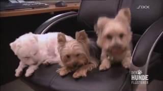 Download Der Hundeflüsterer: Drei sind einer zu viel - und Seven ist ein Alptraum Video