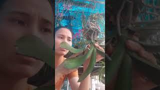 Download CÁCH CHĂM SÓC LAN HỒ ĐIỆP SAU TẾT Video