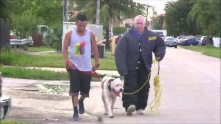Download (Part 2) American Bulldog has lost his mind! RED ZONE DOG BITES THE MIAMI DOG WHISPERER Video