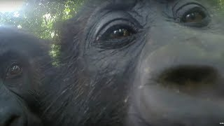 Download Gorillas React To Their Reflection - Gorilla Family and Me - BBC Earth Video