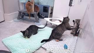 Download Nelia vs. Impudent Kitten! TinyKittens Video
