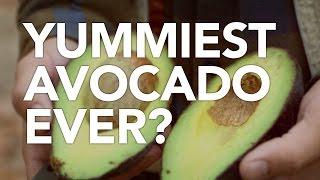 Download Yummiest Avocado Ever? Video