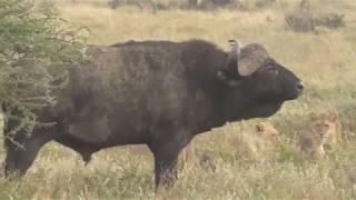 Download Lions vs Buffalo; Tanzania Safari highlights Video