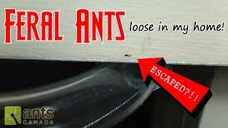 Download FERAL ANTS LOOSE IN MY HOME! | How to Get Rid of Pest Ants Video