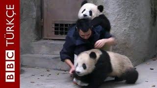 Download Yemek beklerken ilaçla karşılaşan panda yavrularının intikamı - BBC TÜRKÇE Video