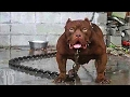 Download 10 Most DANGEROUS Dog Breeds In The World Video